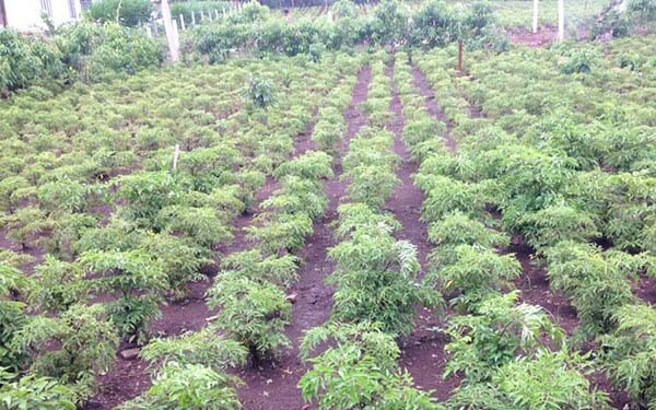 vườn dược liệu sơn trà cây đinh lăng