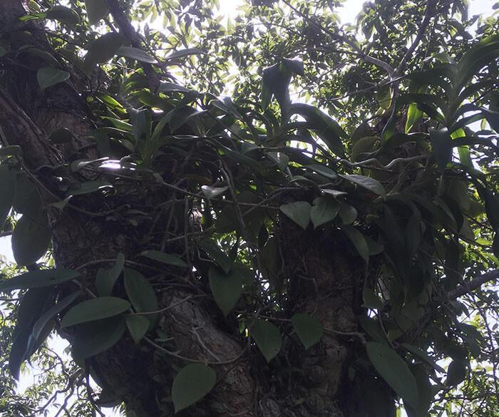 Lan rừng dược liệu